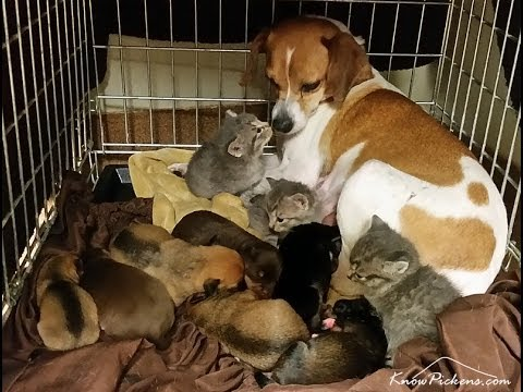 Dog Fostering Kittens Without Mother Cat