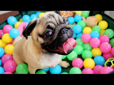 Pug vs Ball pool