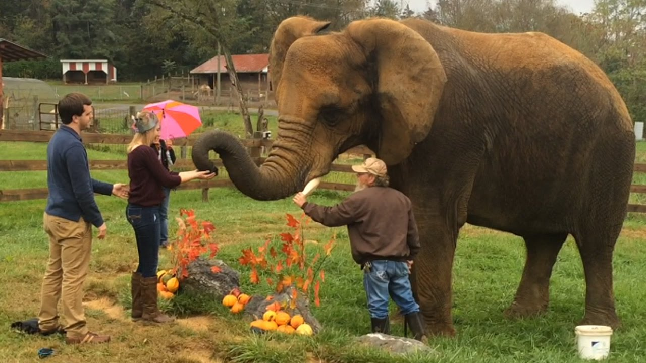An elephantine marriage proposal