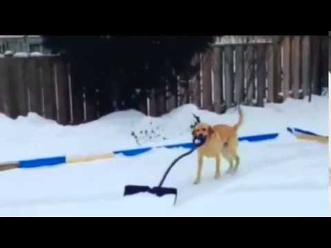 Elsa, the snow cleaning dog