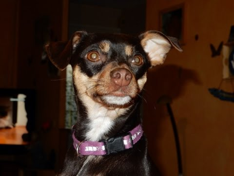 Loly, the pinscher that loves to sing