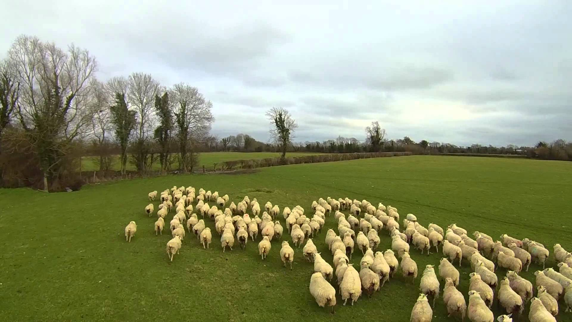 Poor sheep dogs, they're going to lose their jobs