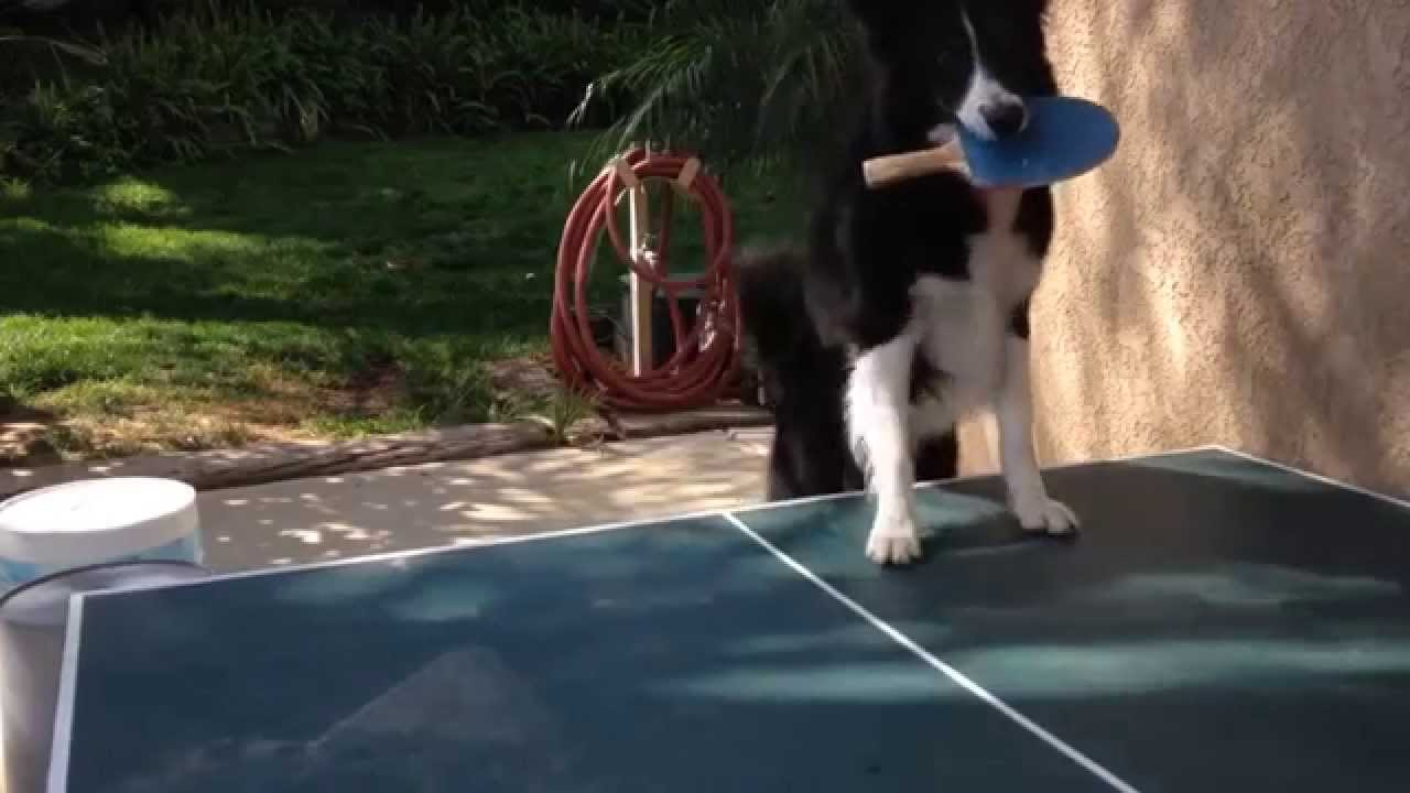 The Ping Pong dog