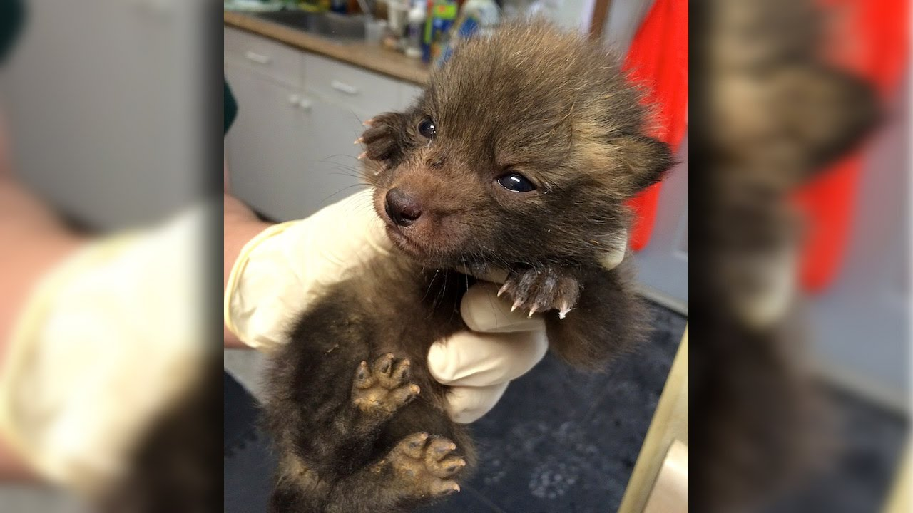 The rescue of the baby foxes