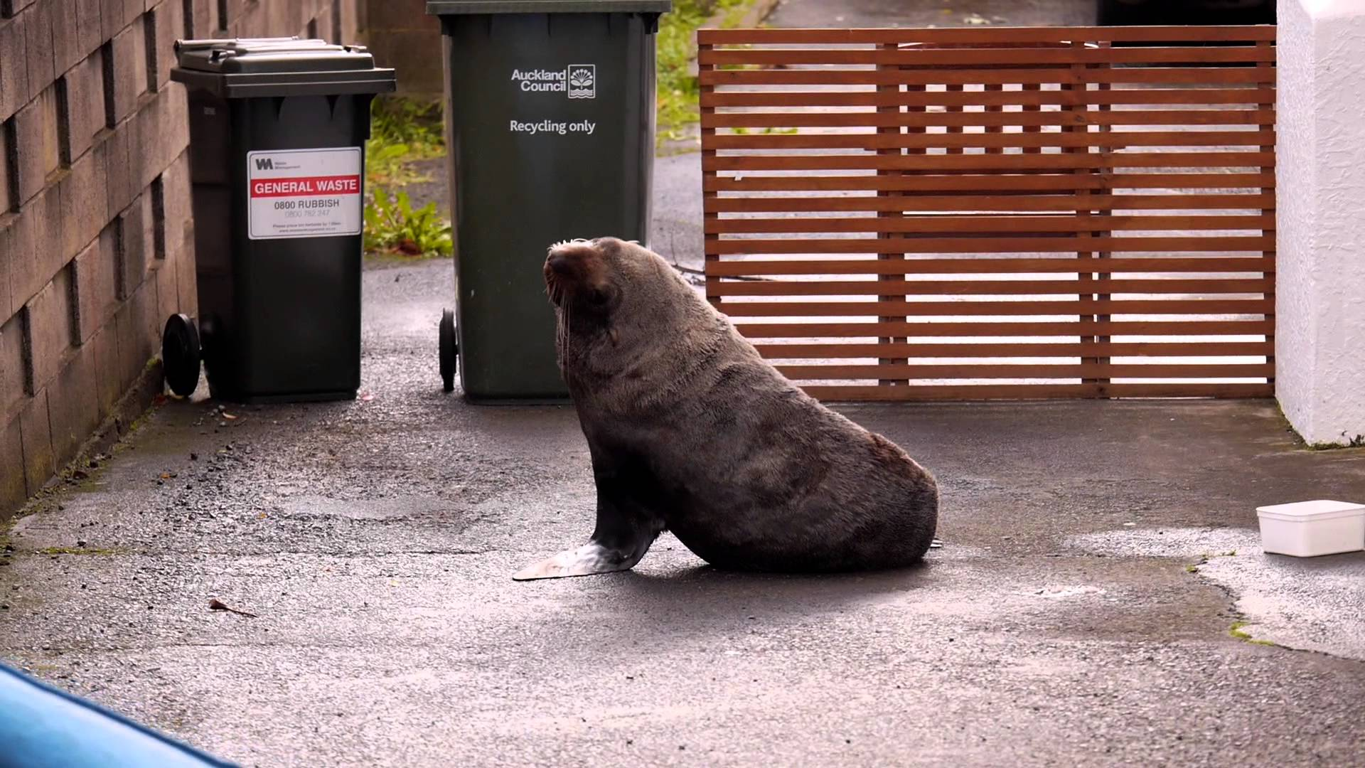 Seal becomes famous in New Zealand