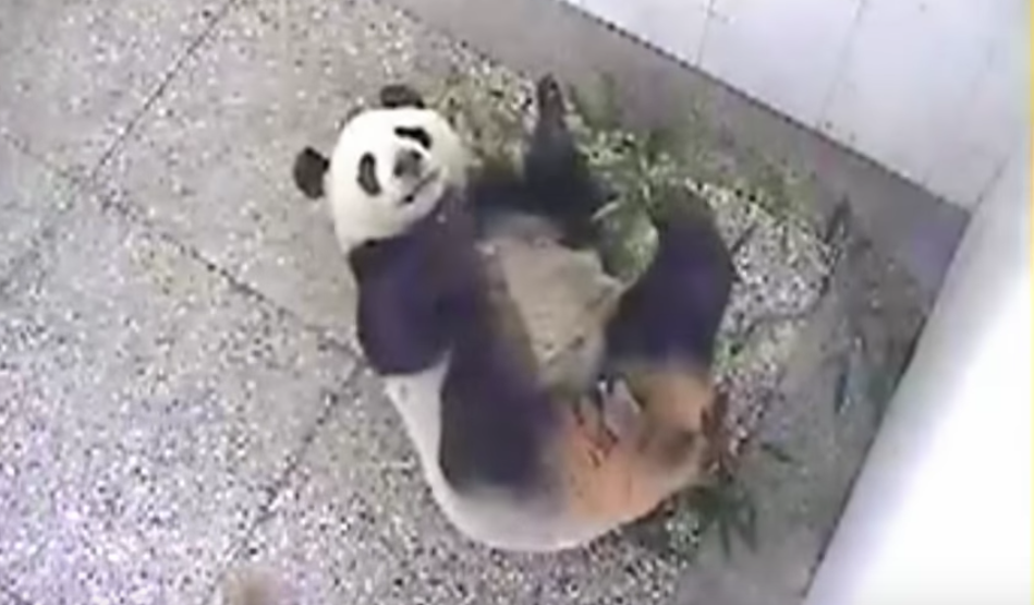 Panda Mom In Labor For 3 Days, Camera Captures Miraculous Moment When Beautiful Cub Is Born.