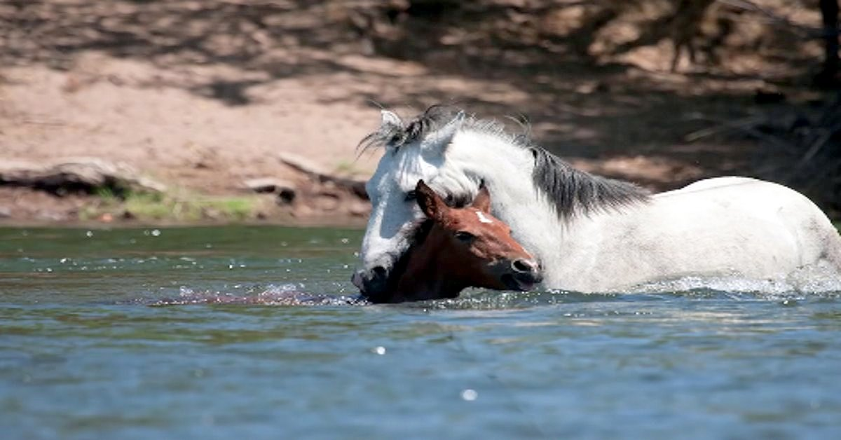Wild Stallion Comes To Rescue Of Drowning Baby Horse